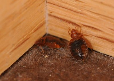 Bed-Bugs-in-Corner